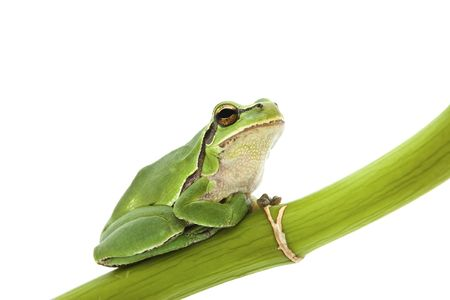 treefrog: Green Tree Frog on green branch isolated on white background. Shallow DOF.