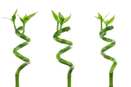 three stems of lucky bamboo isolated on white background Stock Photo