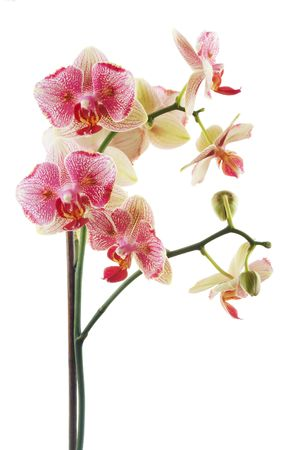 Branch of pink orchid isolated on white background.