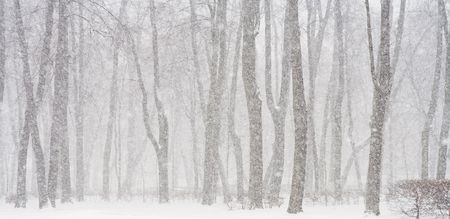 View of trees during snowing. Winter scene.