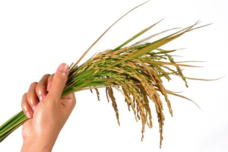 sheaf: woman hand is holding sheaf of rice
