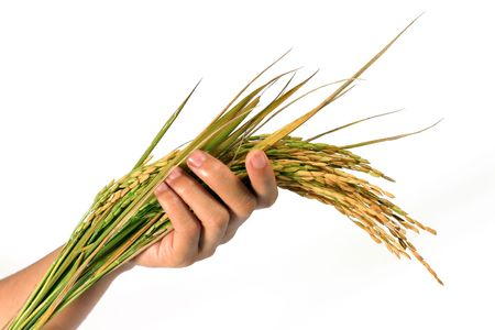 sheaf: womans hand is holding sheaf of rice Stock Photo