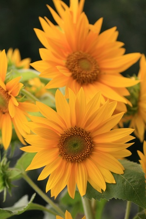 sun flowers blooming in the garden photo