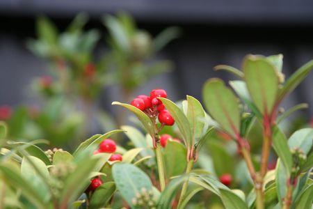 evergreen wreaths: Red berry bush in the garden