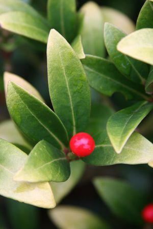 evergreen wreaths: One berry
