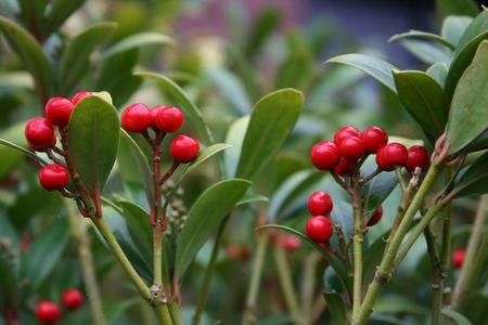 evergreen wreaths: Berry Stock Photo