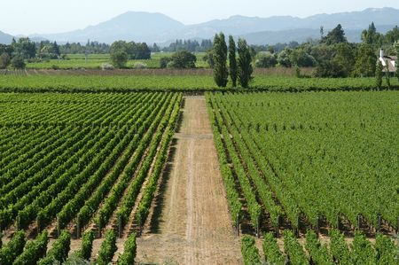 californian: Californian vineyard