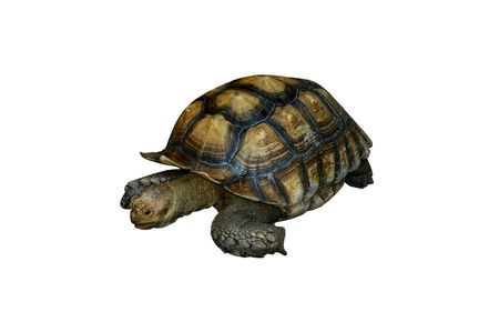 ancient turtles: isolated turtle