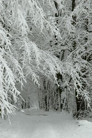 Snowy forest road jus after blizzard photo