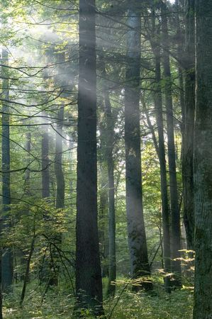 Sunny morning in the deciduous forest,middle europe, poland, bialowieza forest Stock Photo - 796236