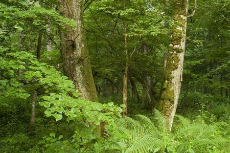 hugh: Old lyme trees in the old natural deciduous forest,middle europe,poland