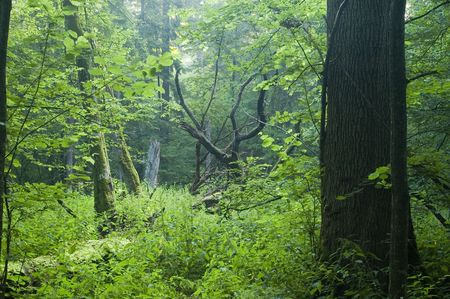 Sunny and misty morning in the forest. photo