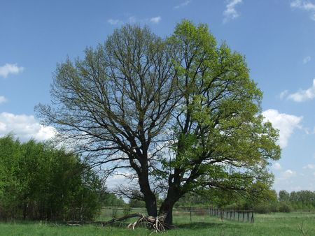 develope: Two oaks with diffrent develope stage