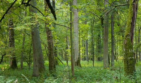 thickets: Old trees in natural forest at Bialowieza National Park, strictly protected area,end of summer
