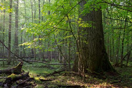hornbeam: Old oak and hornbeam tree side by side in soft morning light