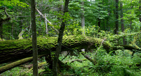 forests: Old oak tree broken lying and old natural deciduous stand of Bialowieza Forest