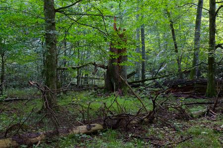 forrest: Primeval bladverliezende staan in natuurlijke bossen in de zomer 's morgens met gebroken vuren boom op de voorgrond