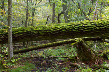 Broken oak tree moss wrapped trunk lying   photo