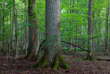 big tree: Primeval deciduous stand in natural forest in summertime morning with group of huge oaks in foreground