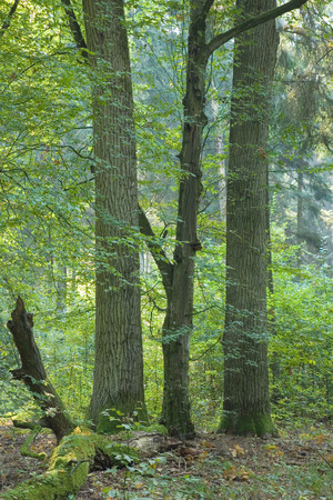 quercus robur: Natural deciduous forest with old hornbeam and oak trees side by side