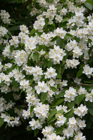 philadelphus: Mock Orange Philadelphus coronarius shrub flowering in spring Stock Photo