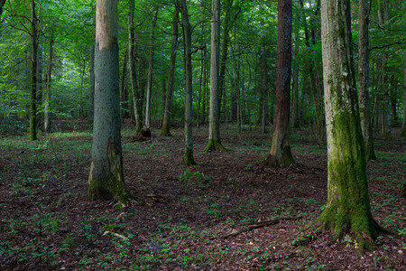 shady: Late summer shady deciduous stand of Bialowieza Forest in morning