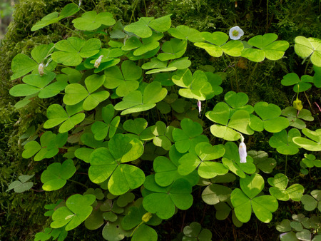 woodsorrel: Wood-sorrel plant closeup against hornbeam bark background, in sun