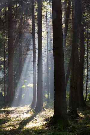 Sunbeam entering coniferous stand in misty morning photo