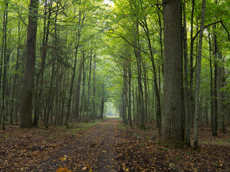 road autumnal: Straight ground road leading across misty autumnal deciduous stand with old trees