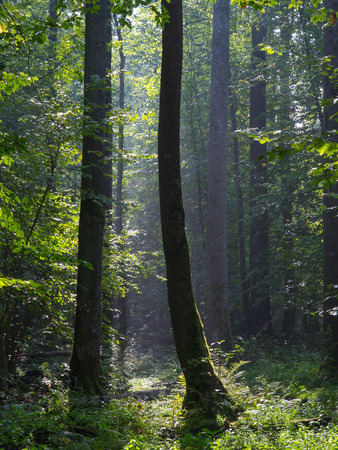 diversity of the region: Summertime morning in the forest with mist and alder trees