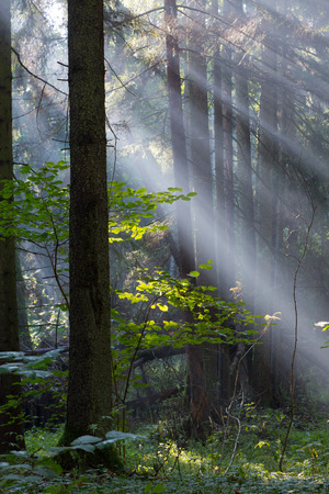 Sunbeam entering rich mixed forest in morning with broken spruces in foreground photo