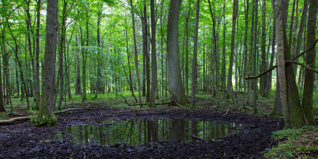 shady: Summertime alder bog forest with small pond under shady canopy of stand Stock Photo