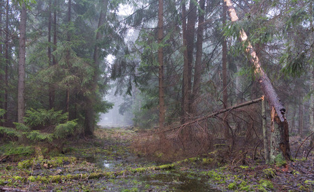 diversity of the region: Early spring morning in the forest with mist and old road in mist