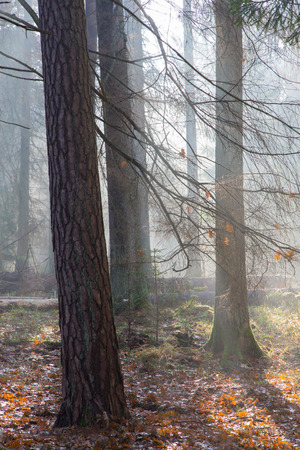 diversity of the region: Autumnal morning in the forest with mist and alder trees Stock Photo
