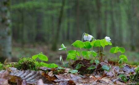 woodsorrel: Wood-sorrel plant closeup against fuzzy forest stand background Stock Photo