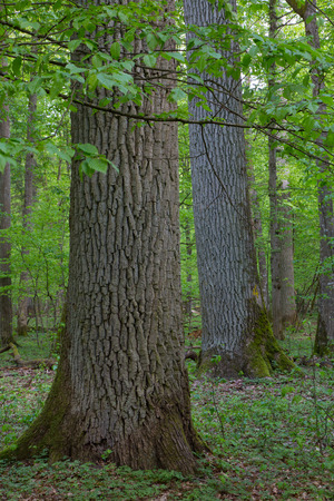 quercus robur: Monumental oaks in springtime deciduous stand of Bialowieza Forest Stock Photo