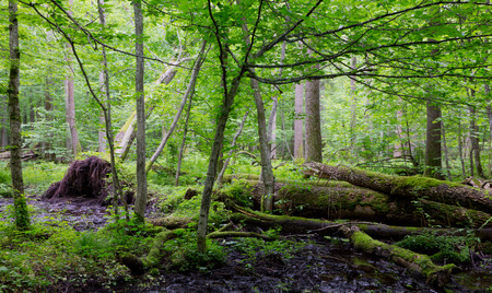 ash tree: Old moss wrapped ash tree lying and old natural deciduous stand of Bialowieza Forest in summer