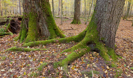 quercus robur: Old oak and spruce in autumnal deciduous stand of Bialowieza Forest in morning