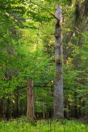 english oak: Old english oak tree in summer sunset next to broken dry  spruce stump