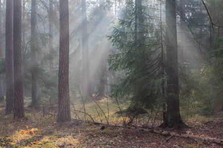 diversity of the region: Autumnal morning in the forest with mist among pines and spruce trees, Bialowieza Forest, Poland, Europe Stock Photo