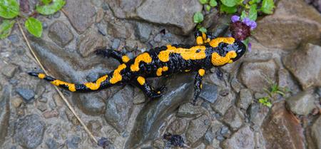 salamandra: Salamandra Fuego en la lluvia primer y el fondo grawel Foto de archivo