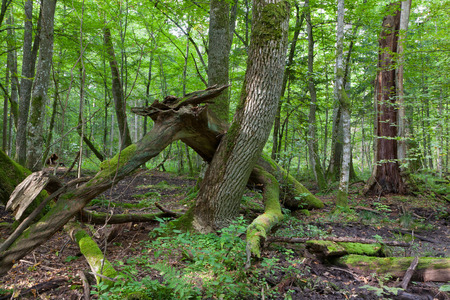 ash tree: Old ash tree branch broken lying in foreground and old deciduous stand in background,Bialowieza Forest,Poland,Europe Stock Photo