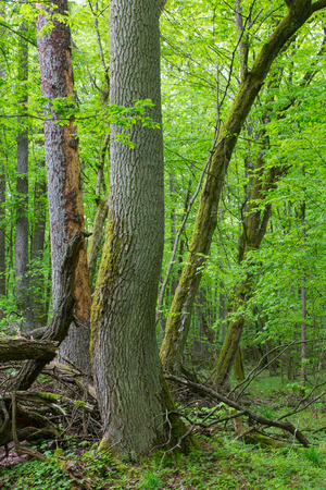 ash tree: Old ash tree in springtime deciduous stand of Bialowieza Forest,Poland,Europe Stock Photo