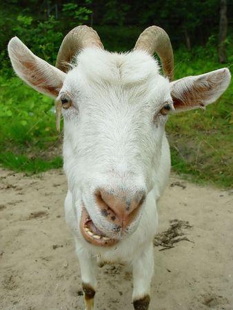 queso de cabra: Retrato de una cabra