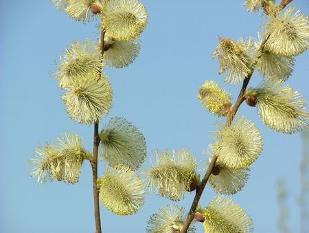 Blooming Willow Tree im Fr�hjahr