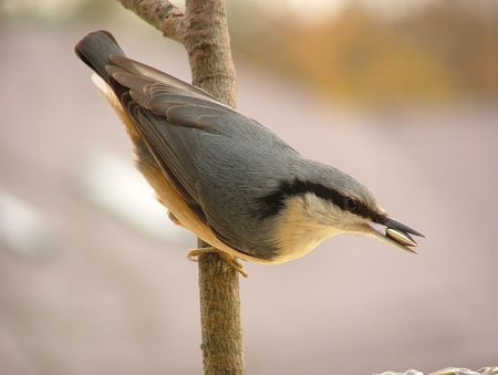 Nuthatch in spring