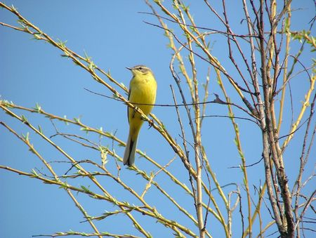 Yellow wagtail in spring
