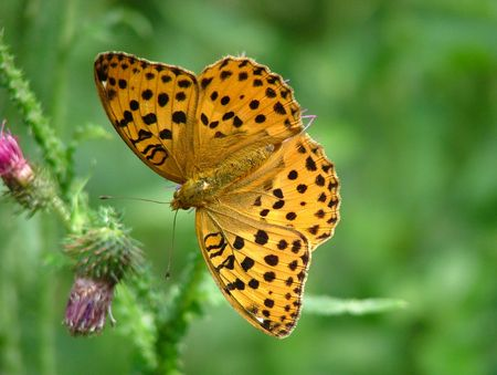 A butterfly Fritillary on violet flower