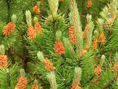 Pine cones in spring