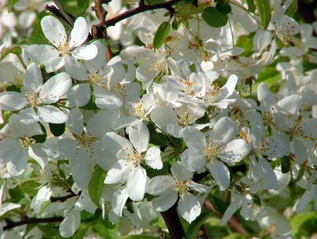 Sch�ne Aussicht mit einem bl�henden Apfelbaum.